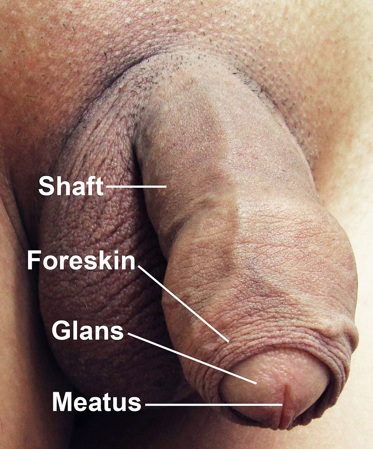 Coitus with an average penis